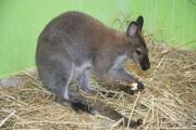 """""""Joey"""" es el nombre del marsupial; tiene dos años de edad; mide 1 metro 200 centímetros de longitud y pesa 42 kilogramos. Foto: C.S.  Ecatepec"""