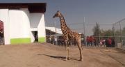 """La jirafa, mamífero rumiante, es un """"camelopardalis"""" de especie artiodáctilo, con un año y medio de edad y una altura de 3 metros, 20 centímetros. Foto: Jorge Villa"""