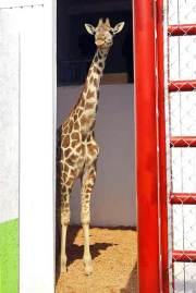 El rumiante tiene un año tres meses de edad, que mide unos 3.20 metros de altura. Foto: Tomada de Reforma.com