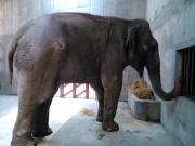 """El elefante """"Benny"""" será integrado a la fauna del Parque Ecológico. Foto: Especial"""
