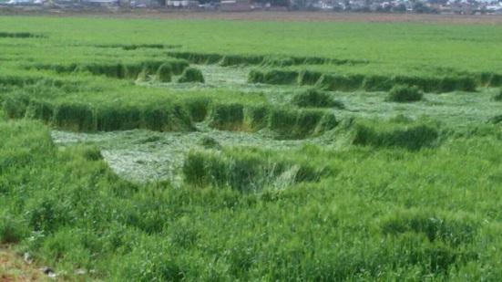 Presuntas figuras geométricas aparecieron en sembradíos de una comunidad en Texoco. Foto: de Reporteros en Movimiento