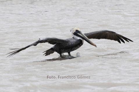 En la temporada invernal con la llegada de otras aves procedentes del extremo norte de América, como el Pato calvo, Cercetas azules y el Pato cucharón entre otras