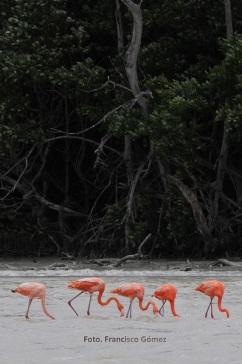 Los flamencos de forma natural buscan  espacios más bajos para habitar  y también buscan alimento a una  profundidad de tan sólo unos  40 centímetros